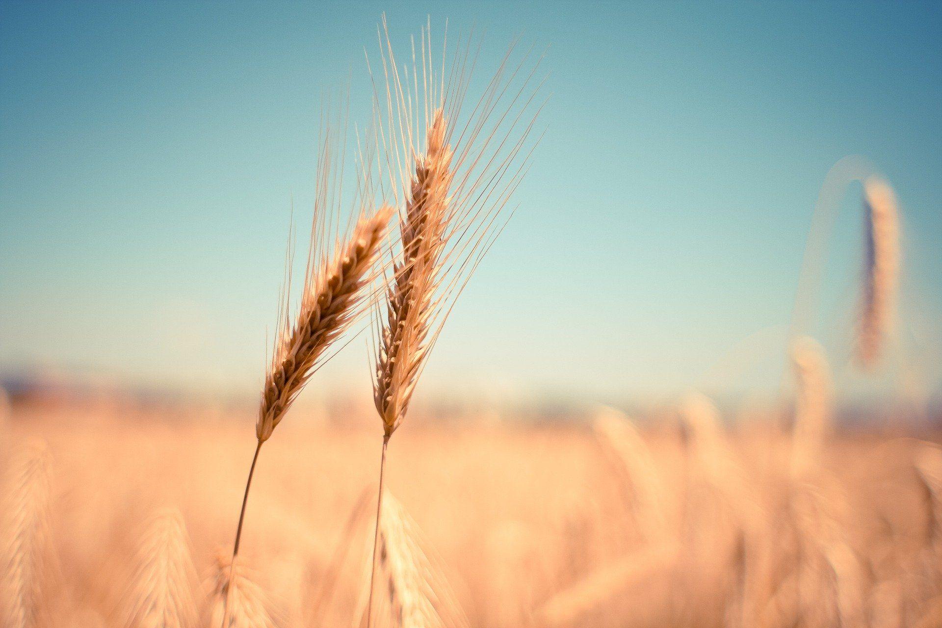 ods - cosecha de trigo