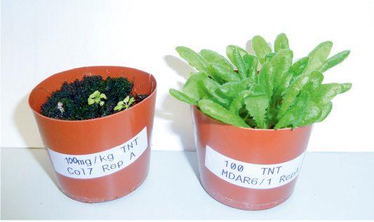 Plantas mutantes