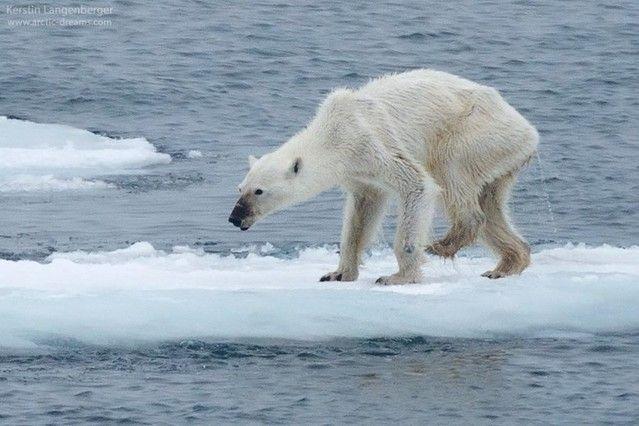oso-polar-desnutrido