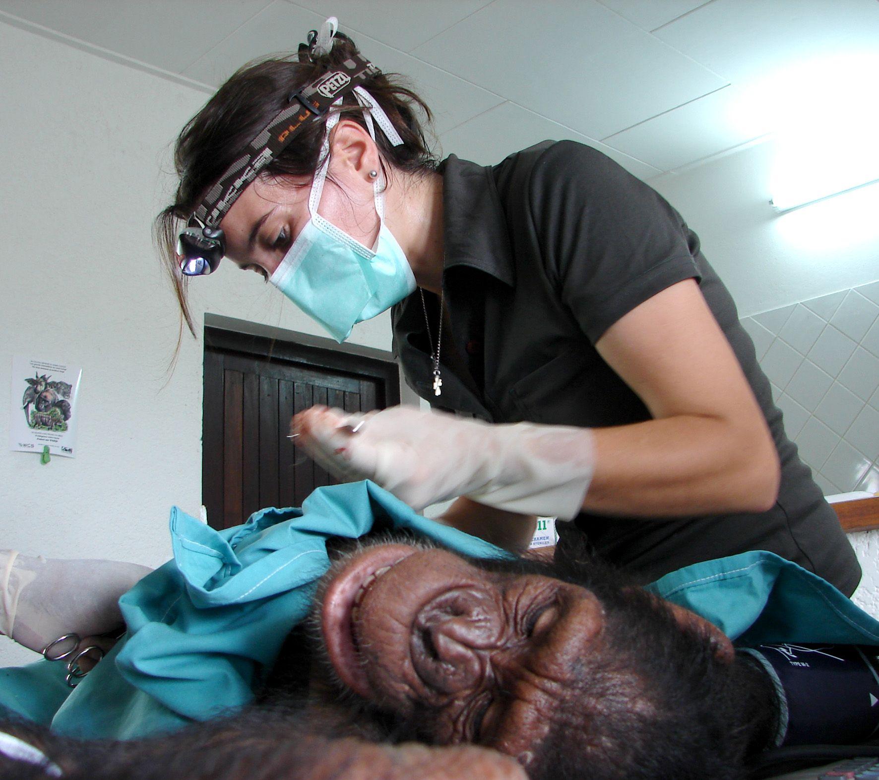 Operación a un chimpancé con Rebeca