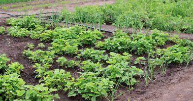 que plantar en huerto casero