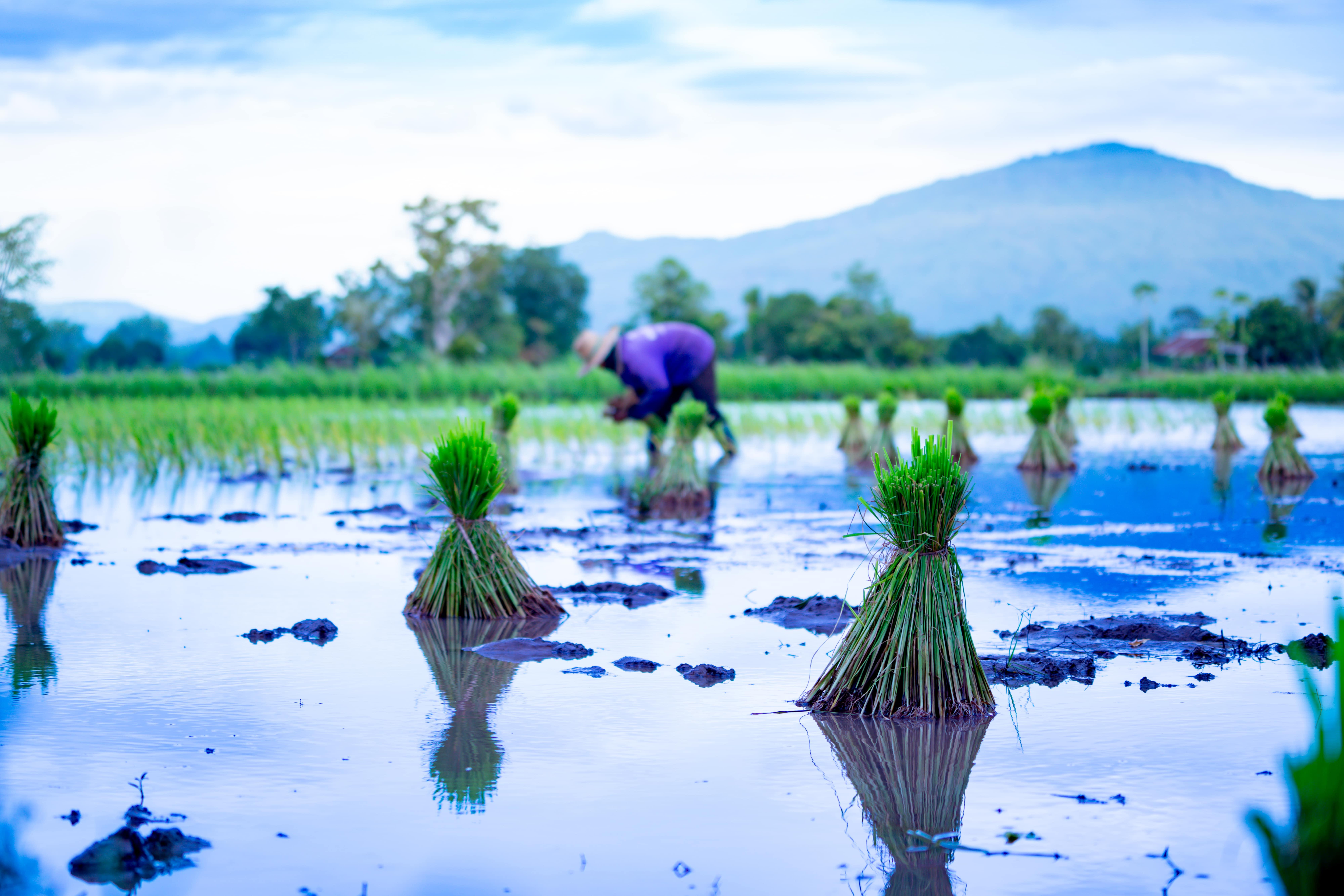 que es la emergencia climatica y como afecta a los cultivos de arroz