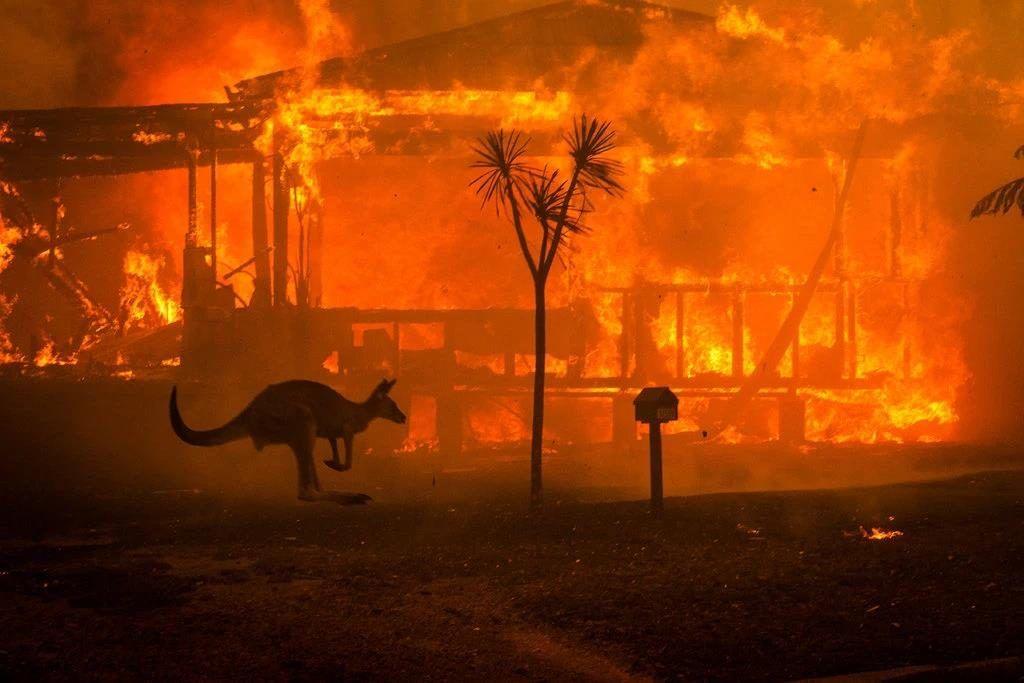 incendios forestales en australia - canguro
