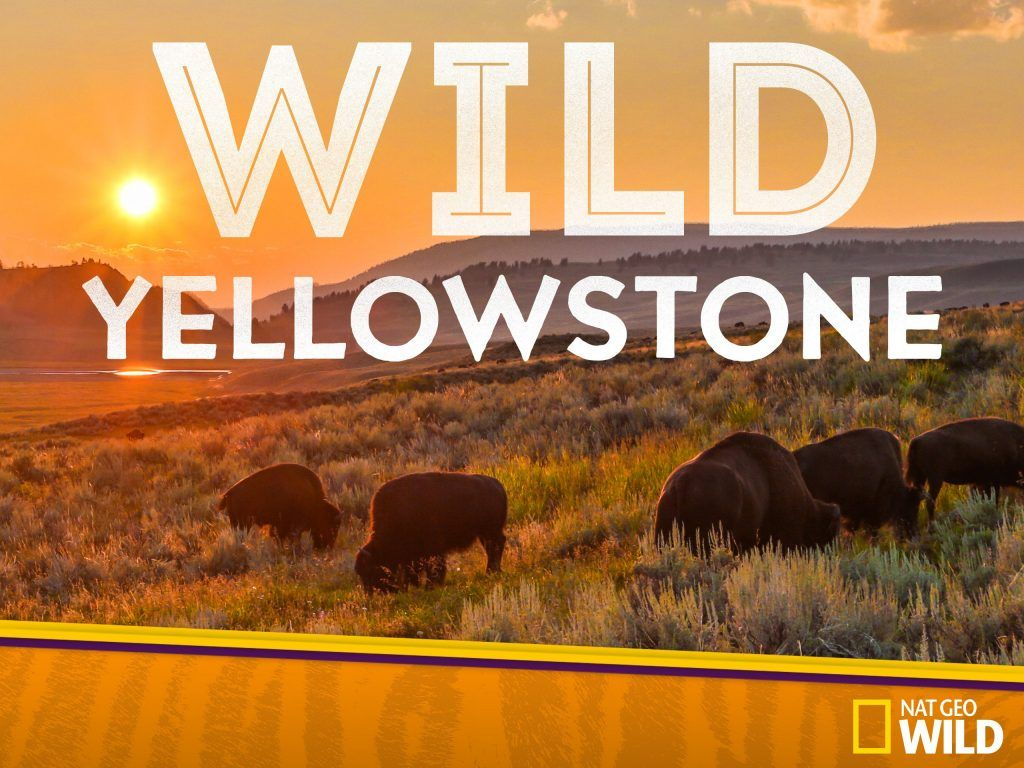 wild yellowstone es uno de los documentales sobre animales de disney+