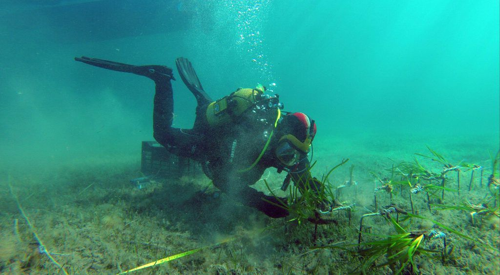 buzo investigando que es el alga posidonia oceanica en su habitat del mediterraneo