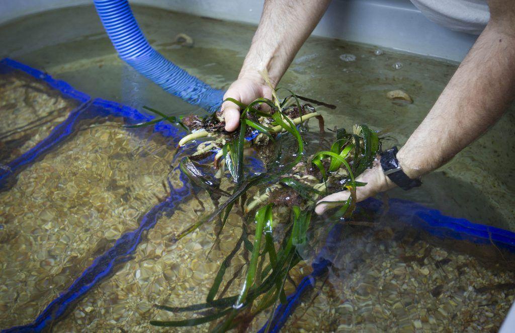 cultivo del alga posidonia oceanica en su habitat