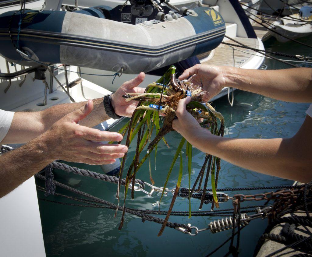 alga posidonia del mediterraneo