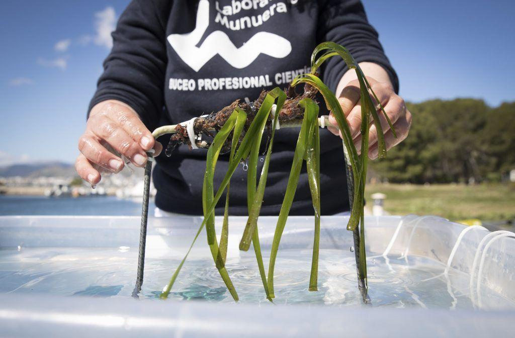 que es el alga posidonia del mediterraneo