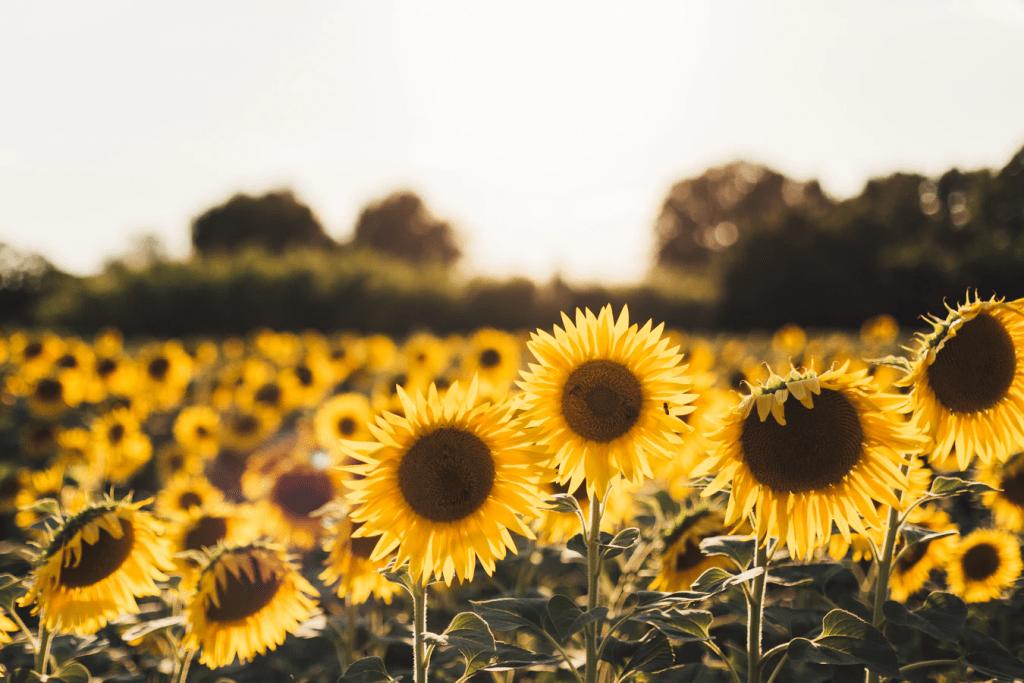 flores para plantar en verano