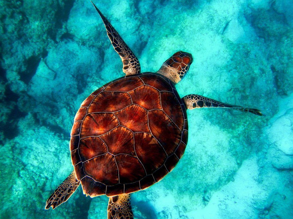 tortuga nadando - proteger la biodiversidad