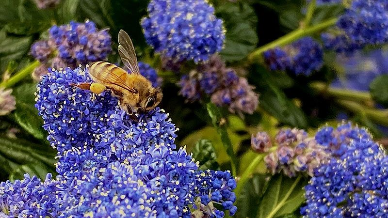 abeja poliniazando flores en primavera