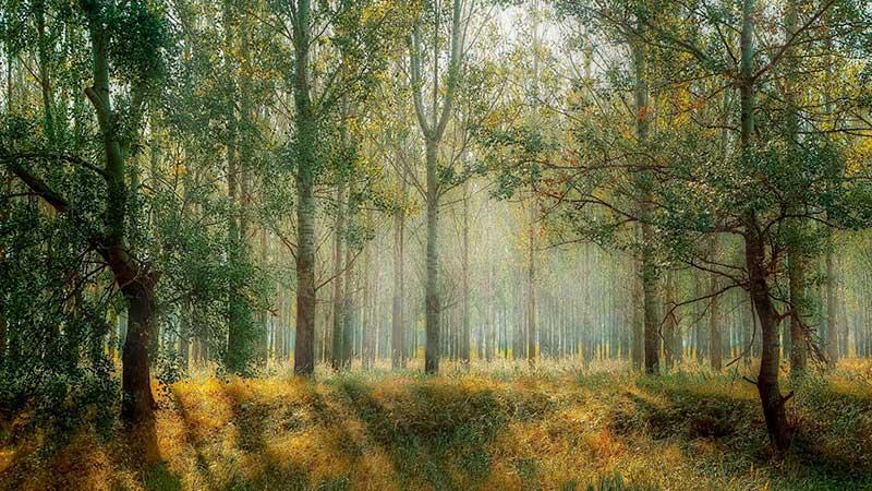 ejemplo de un bosque de pino alto en el día de la naturaleza