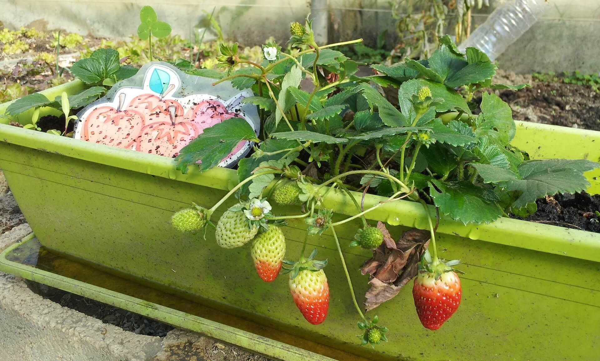 fresas en huerto urbano flores para plantar en casa