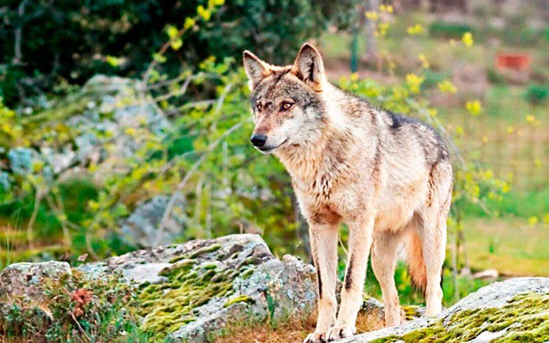 un lobo ibérico en su hábitat