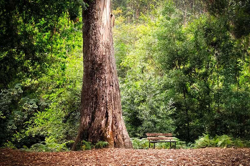 foto del árbol Abuelo Souto Retorta un eucalipto