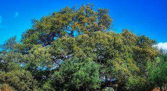 Carrasca de Lecina premio mejor árbol europeo 2021