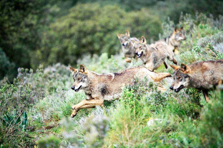lobo ibérico en el monte especie en peligro de extinción
