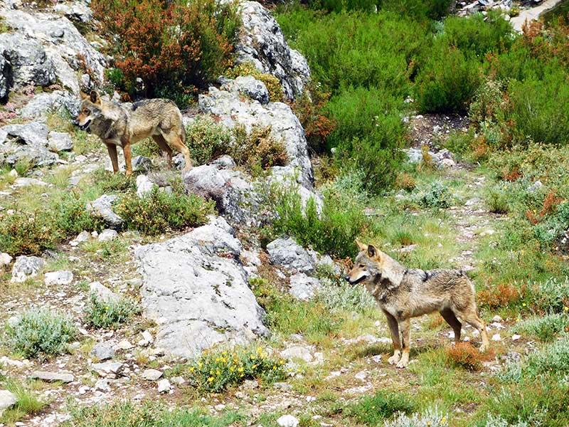 lobo ibérico cuantos quedan