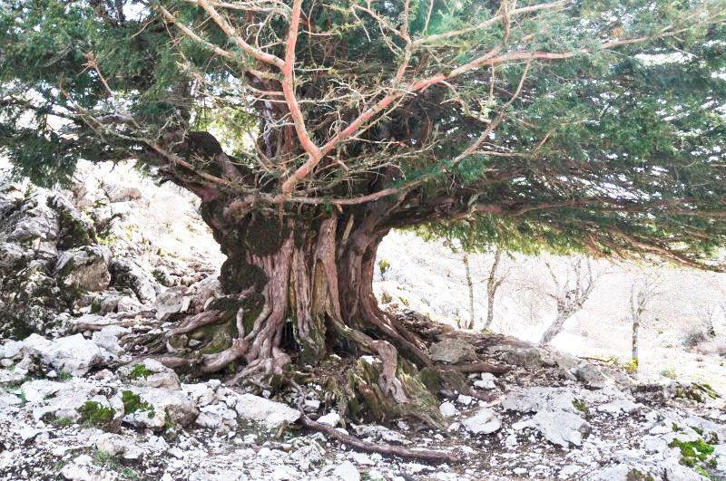 Tejo de Cazorla en Jaén árbol milenario