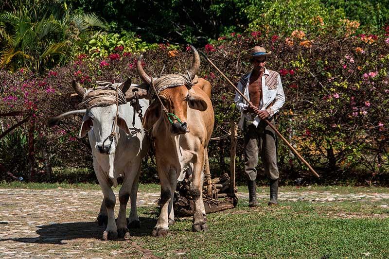 bueyes tiran de un arado en zona rural