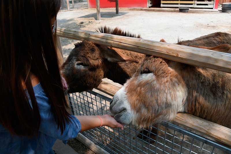 chica joven alimenta a dos burros tras una valla